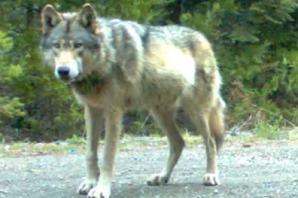 Lone wolf travels 205 miles over three years to find love