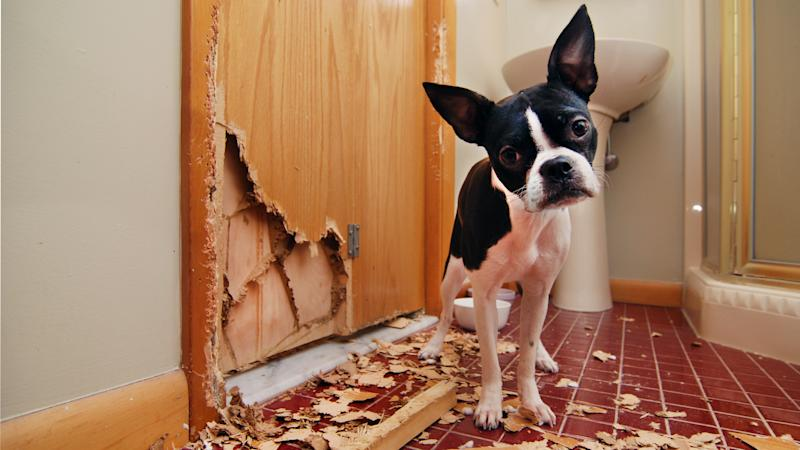 A tiny Boston terrier puppy chews a hole in the bathroom door in an attempt to escape.