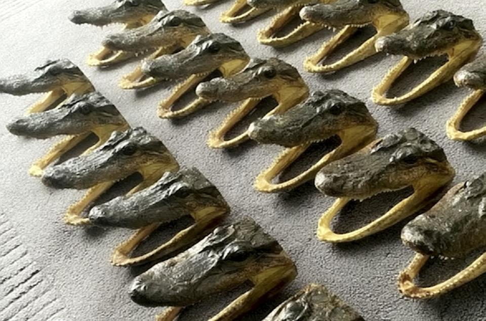 Police have seized 80 alligator heads from a house in Perry Barr, Birmingham, this morning, February 25, 2021, after receiving information that the heads were being imported from abroad illegally and sold on through eBay to buyers all around the world at a large profit to the seller.  See SWNS story SWMDcroc.