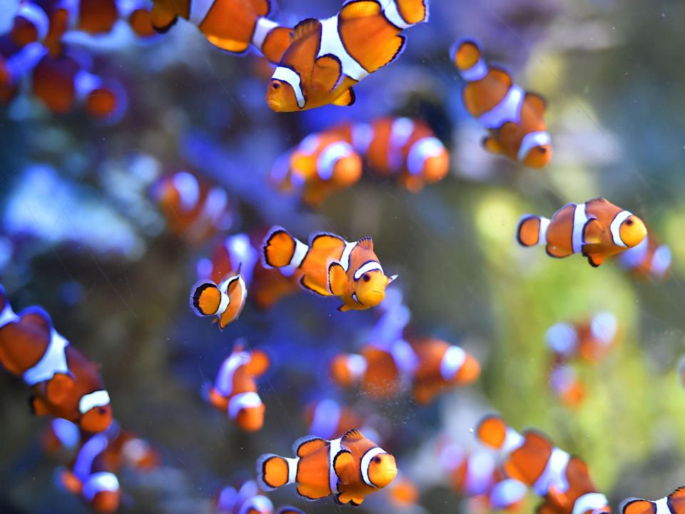 Clownfish swim at the Ocearium in Le Croisic, western France, on 6 December 2016 (AFP via Getty Images)