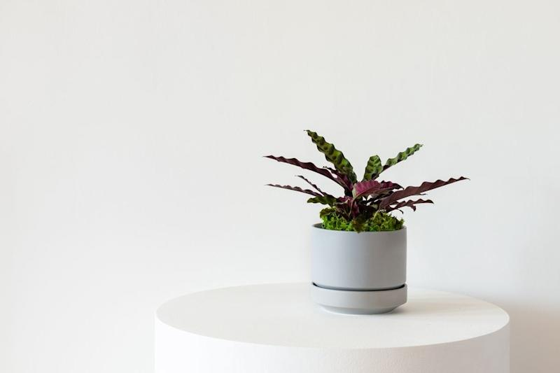 This calathea rattlesnake plant hails from the rainforests of Brazil, bringing an instant tropical feel to your space.
