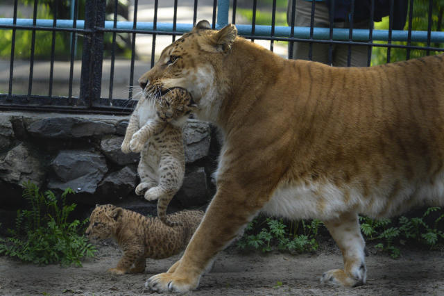In this Tuesday, June 18, 2013 photo Zita, a liger, half-lioness, half-tiger, carries her one month old liliger cub in the Novosibirsk Zoo. The cub's father is a lion, Sam. (AP Photo /Ilnar Salakhiev)