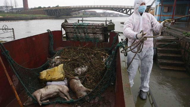6,000 Dead Pigs in River Not Affecting Shanghai's Water, Officials Insist