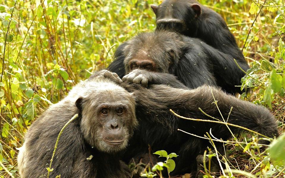 Chimps were observed for 78,000 hours over the course of two decades - PA