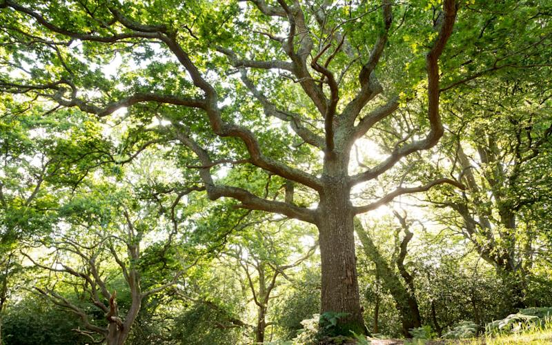 Trees act as a natural sequester of carbon dioxide - ©National Trust Images/John Mill