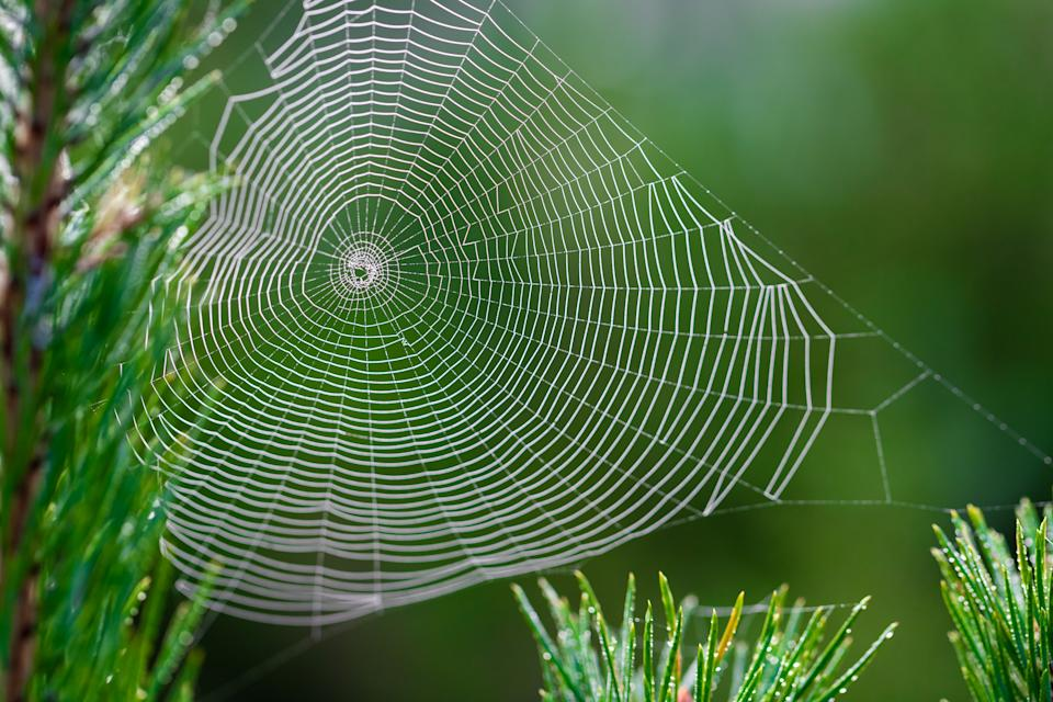 A spider web in a pine tree during dawn with early morning dew in the National park Brunssumerheide in Limburg, the Netherlands on a September morning