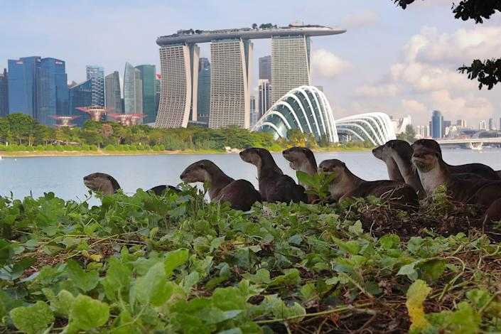 Singapore otters with the Marina Bay Sands hotel in the background