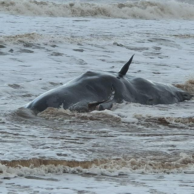 One of the beached whales