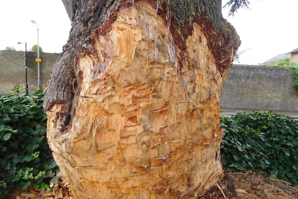 Council officials also found holes drilled into the trunk of the tree (Picture: SWNS)