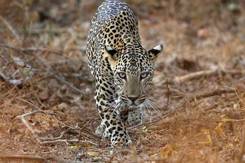 Leopard Caught in Illegal Trap Beaten to Death by Locals in Guwahati, Body Parts Chopped Off