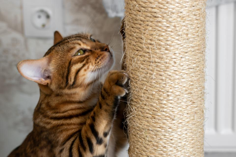 Spotted domestic cat sharpening claws on a scratching post, side view