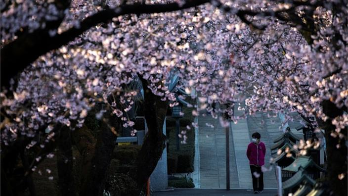 Crowds have been asked to stay away this cherry blossom season