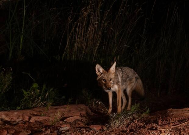 A small coyote is pictured at night. A man riding his electric scooter through Stanley Park late Sunday crashed into one of the animals just before midnight, according to police. (Shutterstock / MelaniWright - image credit)