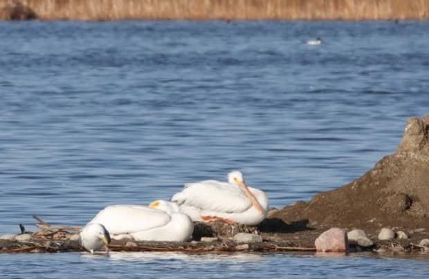 The two American white pelicans were spotted at Frank Lake last week.