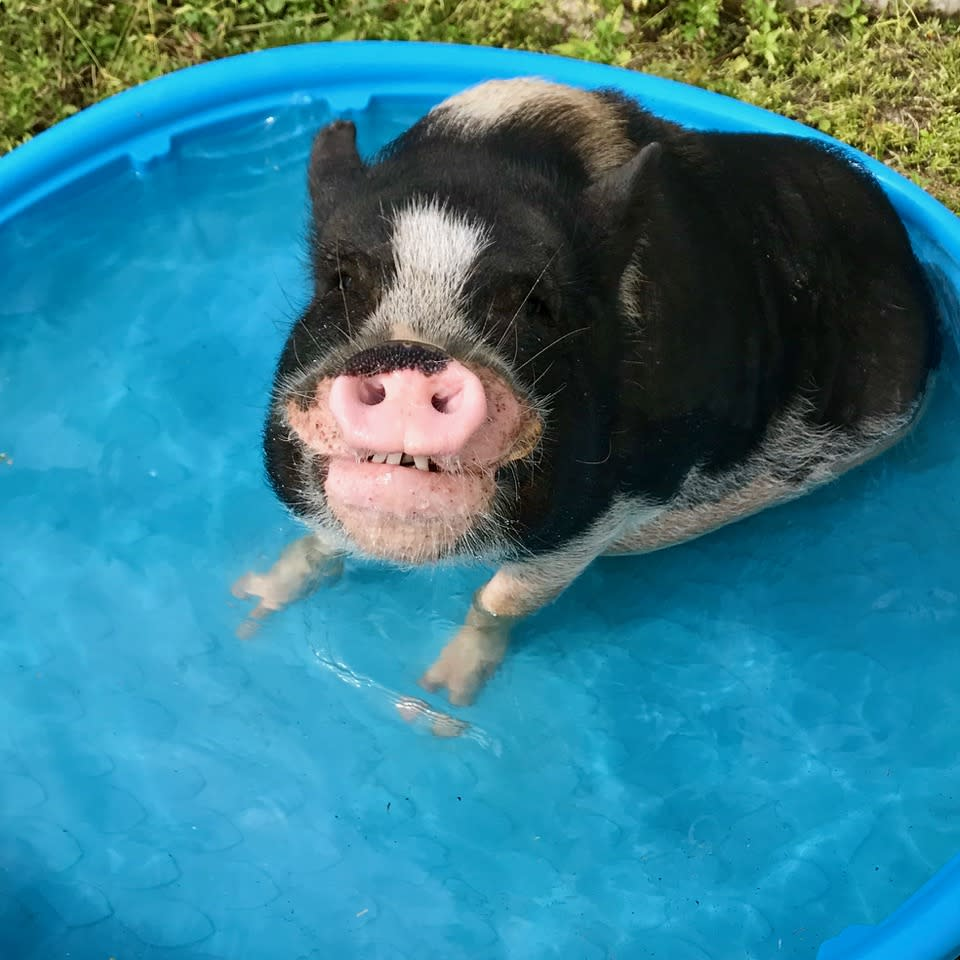 A pig takes a dip in a kiddie pool. (Christoper Vane / Little Bear Sanctuary)