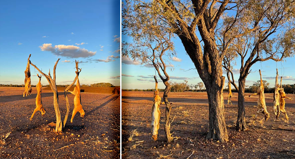 Dingoes hanging from a tree along the tourist road to the dinosaur stampede. Source: Angus Emmott