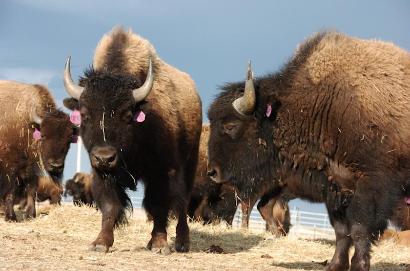 """In this photo taken April 24,2012 on the Fort Peck Reservation near Polar Montana showing a heard of Bison. Western lawmakers are seeking to elevate the plains bison to a status similar to that of the iconic bald eagle with legislation to declare the burly animal America's """"national mammal."""" Bison advocates launched a """"vote bison"""" public relations campaign Friday to coincide with the bill. (AP Photo/Matthew Brown)"""