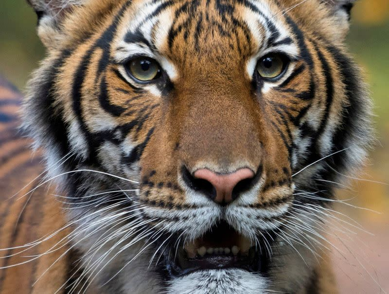 Tiger with COVID-19 gets meds, TLC from New York's Bronx Zoo keepers