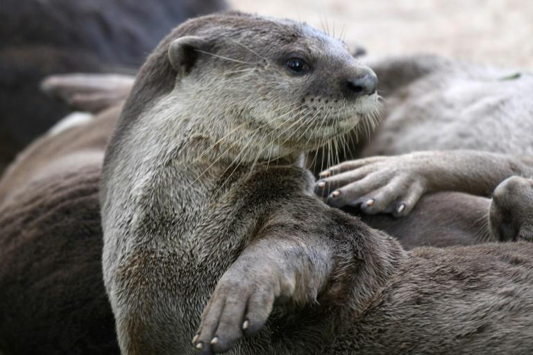 There are estimated to be about 90 otters in Singapore, making up 10 families, and appearances at popular tourist sites around the city-state's downtown waterfront had transformed them into local celebrities