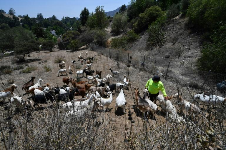 On a hot July morning, a herd of 80 goats were deployed to a hilly patch of land in Glendale, just outside Los Angeles