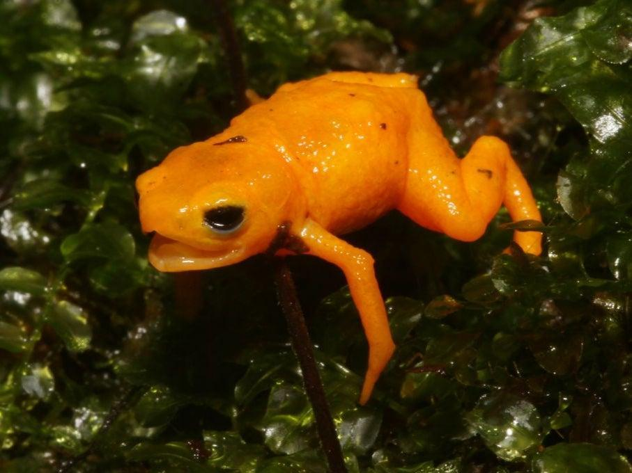 Pumpkin Toadlets are among some of the world's smallest frog species (Ivan Nunes)