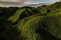 There are almost zero visitors to the Cameron Bharat Plantation due to Covid-19 travel curbs