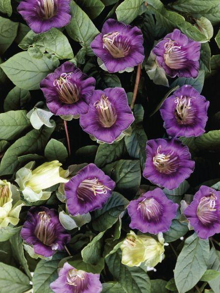 <p>This perennial climber, known by its common names of cup and saucer vine or cathedral bells vine and native to Mexico and Peruƒ, features cup-shaped flowers in shades of purple or white and pale green oblong-shaped leaves. Although it takes a while for the vine to begin flowering, it produces a screen of leaves quickly. </p><p><strong>When it blooms: </strong>Summer</p><p><strong>Where to plant:</strong> Full sun</p><p><strong>USDA Hardiness Zones:</strong> 9-11</p>