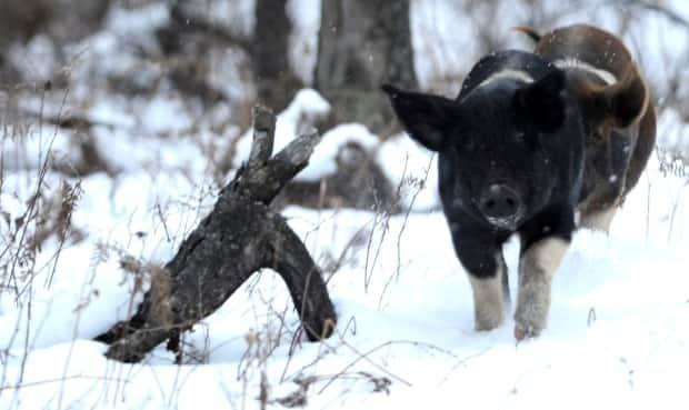 Feral swine are capable of spreading disease to other animals as well as humans and cause hundreds of millions of dollars in property damage annually in the United States. (The Associated Press - image credit)