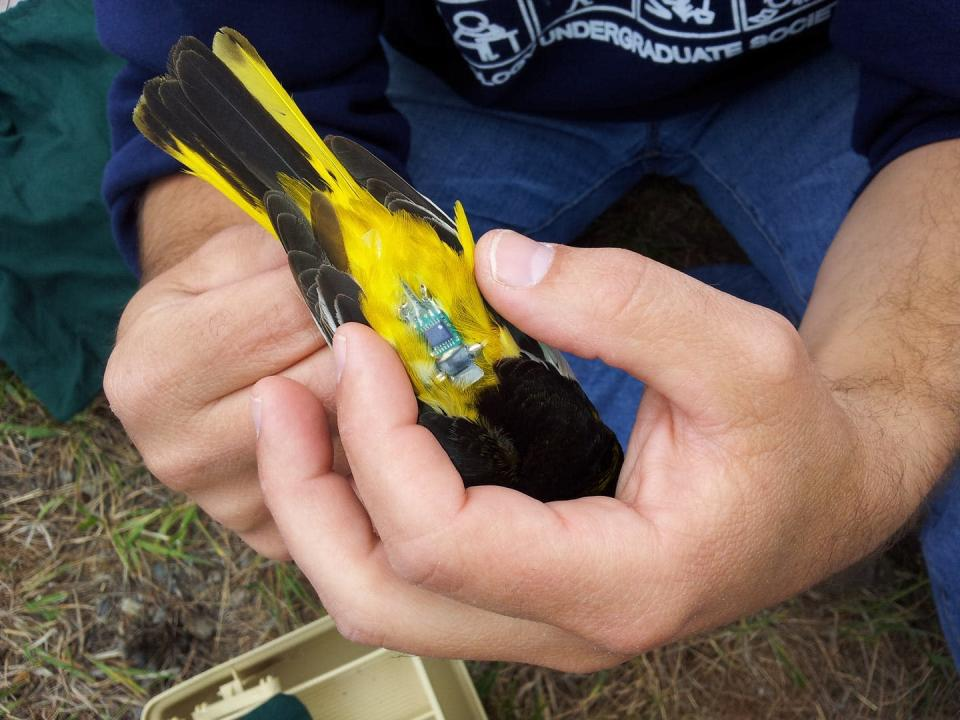 a bird is fitted with a tracking device