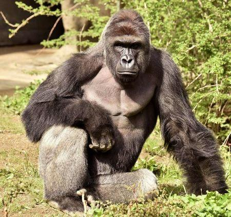 Harambe, a 17-year-old gorilla at the Cincinnati Zoo is pictured in this undated handout photo provided by Cincinnati Zoo. Cincinnati Zoo/Handout via Reuters