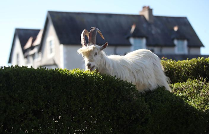 Mountain goats are feasting on Llandudno's hedges. (Photo: Carl Recine / Reuters)