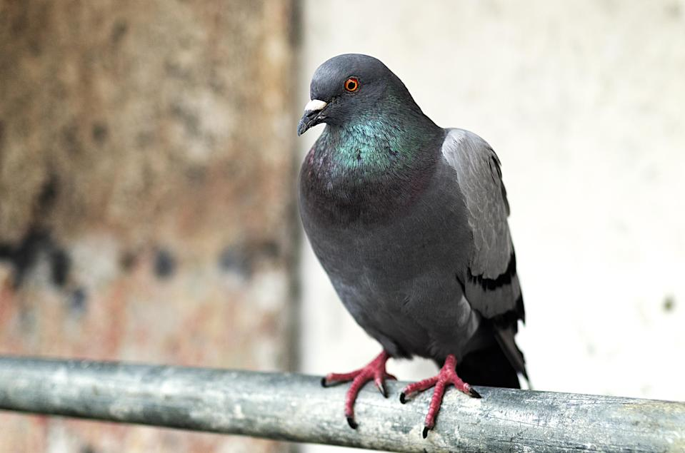 Multiple deaths in recent weeks have been attributed to an exposure to pigeon poop in Scotland. Here's why, (Photo: Getty Images/Abraham Blanco)
