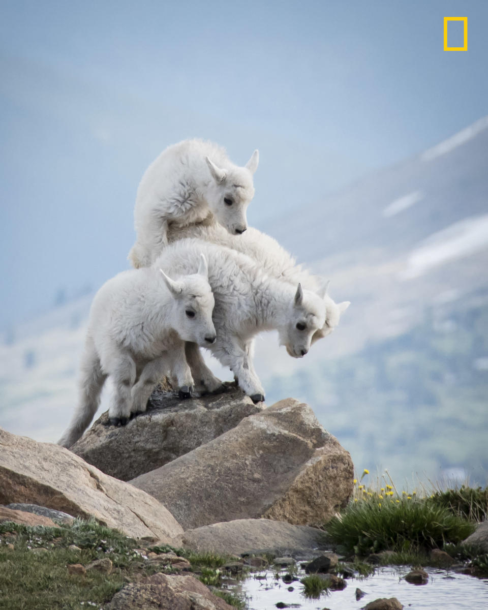 <p>How many Mountain Goats can fit on this rock in Mount Evans, Colorado, if you start stacking them on top of each other? (Eivor Kuchta/National Geographic Nature Photographer of the Year contest) </p>