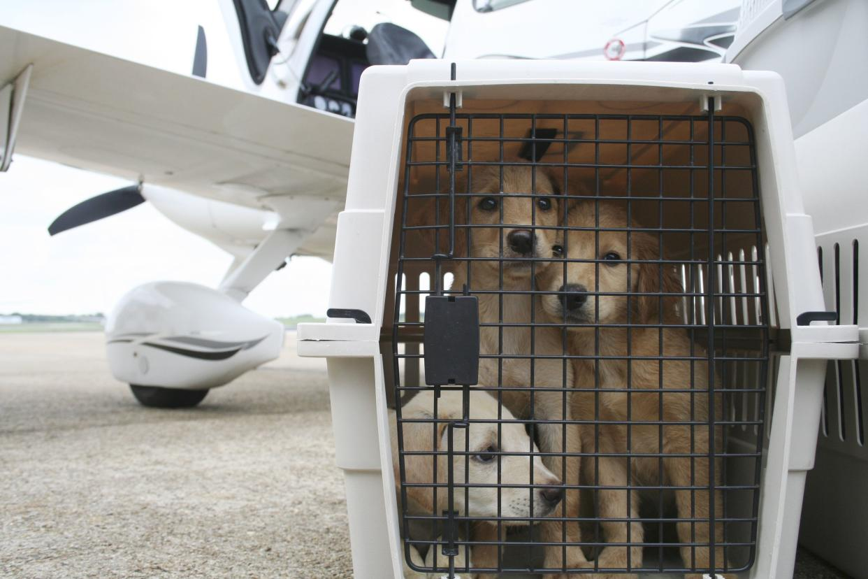 Crated Labrador-mix puppies await a flight from Montgomery, Ala., to Tampa, Fla., on Sept. 3, 2009. The charity Pilots N Paws flew the dogs from a shelter to a waiting rescue group in Florida, saving them from euthanasia.