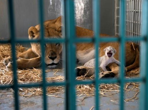 Rescued Aleppo lion gives birth after Jordan move
