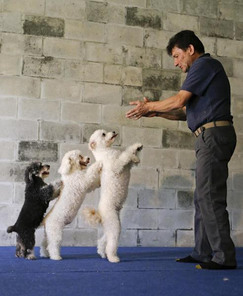 """In this photo taken on Tuesday, April 22, 2014, Richard Olate works on a routine with performing dogs, from left, Loca, Copo and Toby, during a training session in Sorrento, Fla. Since the father and son took their 10 flipping, twirling dogs from the center ring of a circus to the stage of a reality show, where they won TV competition """"America's Got Talent,"""" people pack their performances at large venues and they have been tapped to star in short films bankrolled by Ellen DeGeneres' pet food company, one of which is set to screen at the Cannes Film Festival. (AP Photo/John Raoux)"""