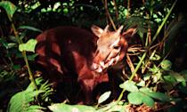 <p>The species was only discovered in 1992 in Vietnam, and it has only been categorically documented in the wild four times in history. (Photo: WWF) </p>