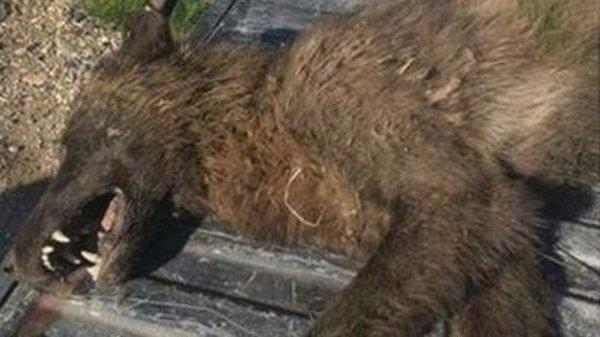 Montana wildlife officials are puzzled by the carcass of wolflike animal they