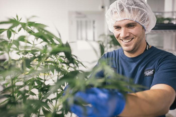 Smiling man wearing hairnet and gloves while working with cannabis plant