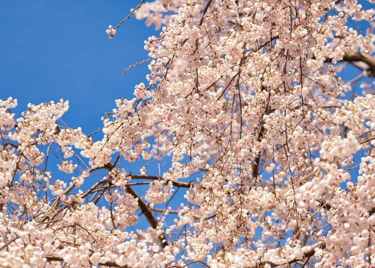 The weeping cherry tree is lit up from sunset to midnight when it is in full bloom every year (dates vary)