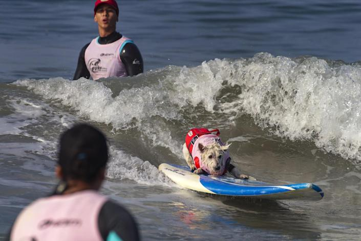 Migz Berenguel watches as Petey, a West Highland terrier, rides a wave.
