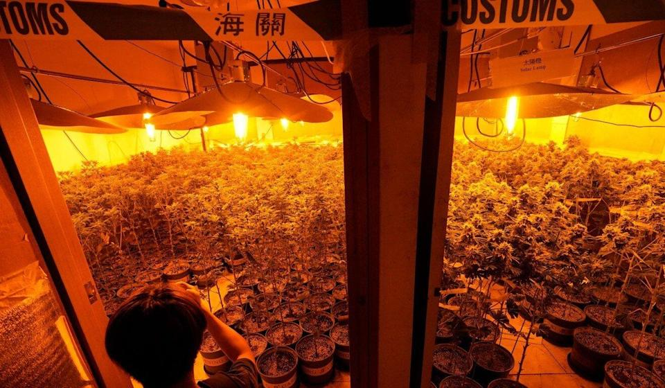 Hong Kong customs officers this month raided the largest cannabis farm yet to be busted in the city. Photo: Felix Wong