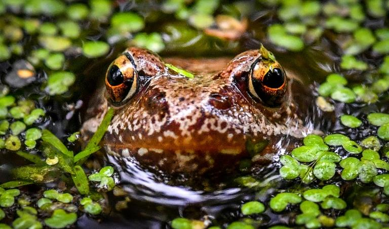 Scientists in Australia have developed a 'Frogphone' to keep tabs on an animal under increasing threat from climate change and habitat loss