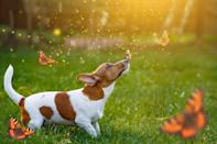 What's better than a dog and one butterfly? A dog with <em>many</em> butterflies!