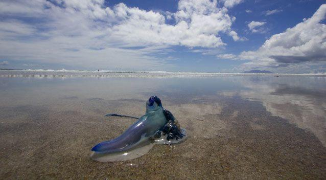 If stung by a blue bottle, the first aid advice is to first remove the tentacles and then treat the area with ice. Photo: Getty