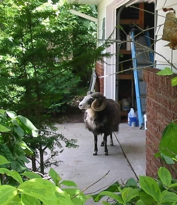 A ram was spotted in the garage of a rural Outagamie County resident last week.