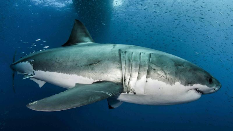Scuba diver killed in shark attack off Queensland