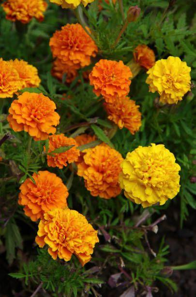 "<p>If we could pick the easiest flower ever, marigold would be our choice! Your grandma (and her grandma!) probably grew these sturdy old-fashioned favorites. These annuals are nearly indestructible, surviving heat and dry spells and blooming nonstop from planting until a hard frost. They come in varying heights from six inches to two feet in colors including sunny yellows, cheery oranges, and creamy whites. </p><p><a class=""link rapid-noclick-resp"" href=""https://www.amazon.com/Davids-Garden-Seeds-Marigold-Pollinated/dp/B07MGKHZCK/ref=sr_1_14?tag=syn-yahoo-20&ascsubtag=%5Bartid%7C10063.g.35370706%5Bsrc%7Cyahoo-us"" rel=""nofollow noopener"" target=""_blank"" data-ylk=""slk:SHOP MARIGOLD SEEDS"">SHOP MARIGOLD SEEDS</a></p>"