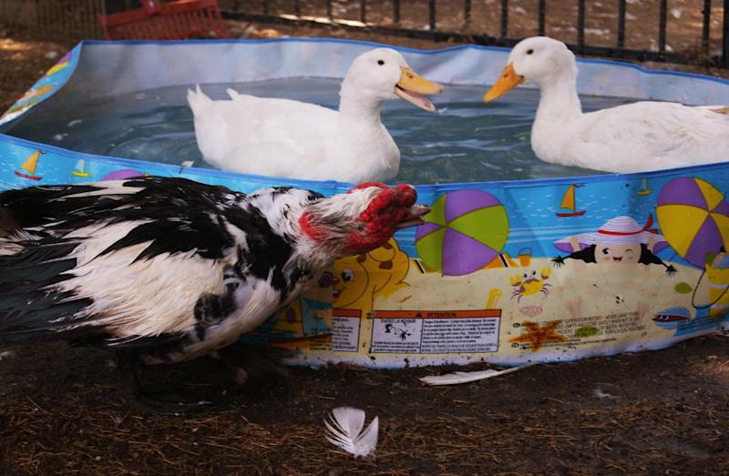 In this Aug. 21, 2011 photo provided by Lydia Yasuda, a Muscovy male duck named Quasimodo looks on while two Pekin ducks play in a swimming pool at The Lucky Duck Rescue & Sanctuary in Sun Valley, Calif. It takes a special pet parent to raise a duck, said Carol Chrysong, 56, founder of The Lucky Duck Rescue & Sanctuary in Los Angeles. There is all that pond, pool or puddle play. AP Photo/Lydia Yasuda)