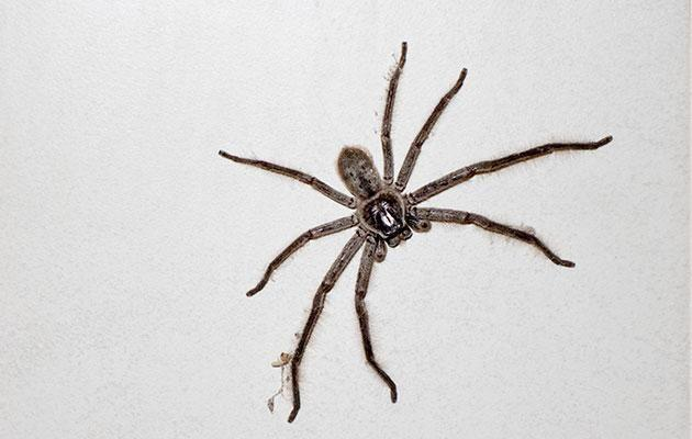 Nocturnal face wanderings are apparently commonplace for spiders. Photo: Getty Images